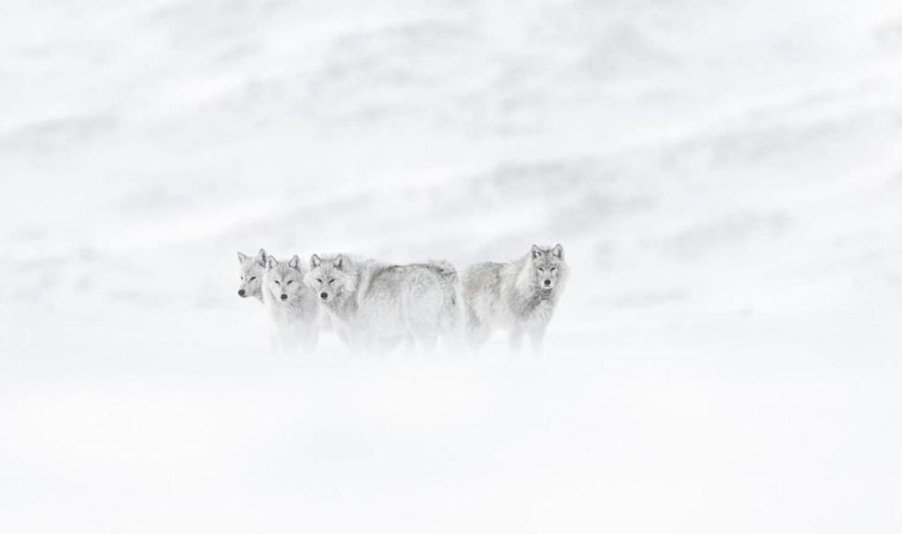 "Images extraites du film ""Arctique"" de Vincent Munier"