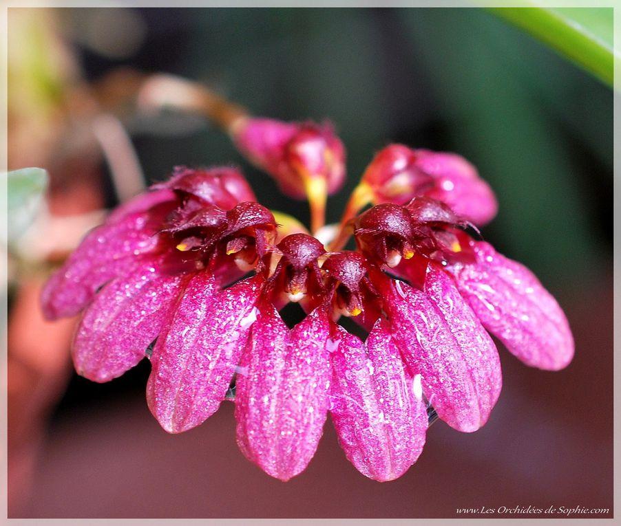Ma petite collection de Bulbophyllum