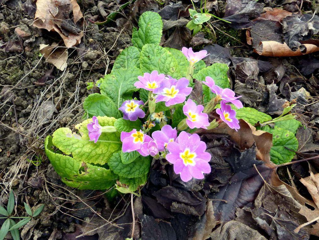 Fraisiers en fleurs, mufliers, perce-neige, primevères, roses et soucis s'épanouissent dans le jardin.