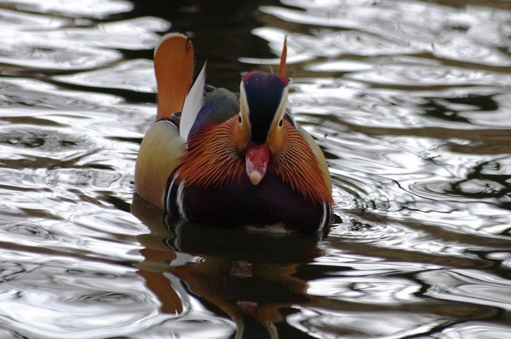 Le canard mandarin de l'Etang de Saint-Cucufa