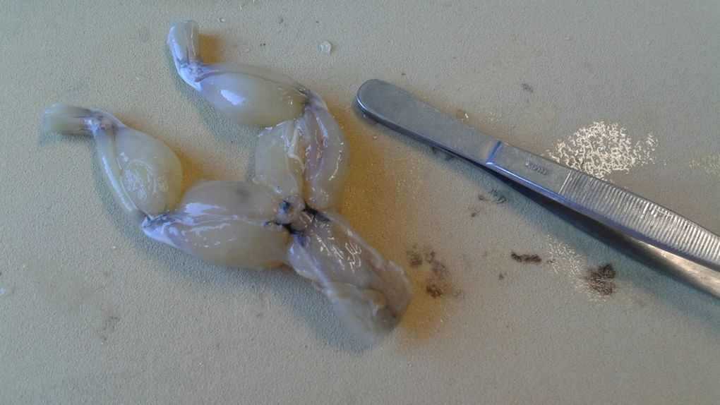 Dissection de grenouille