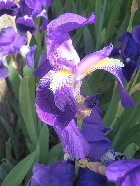 Les Iris du jardin