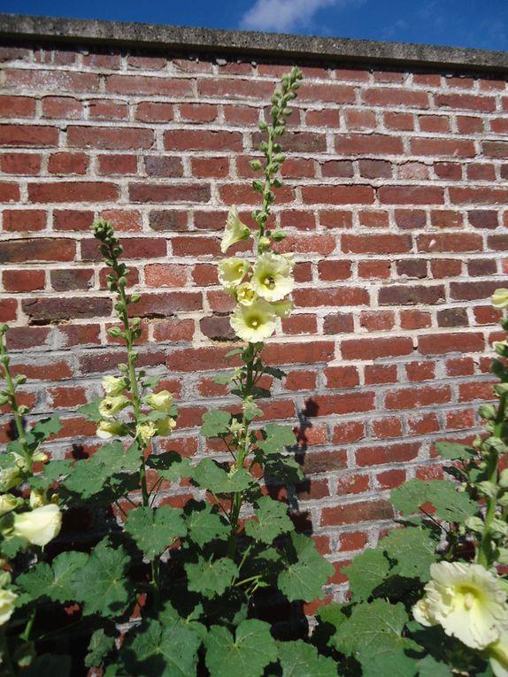 Roses prémères au Hamel