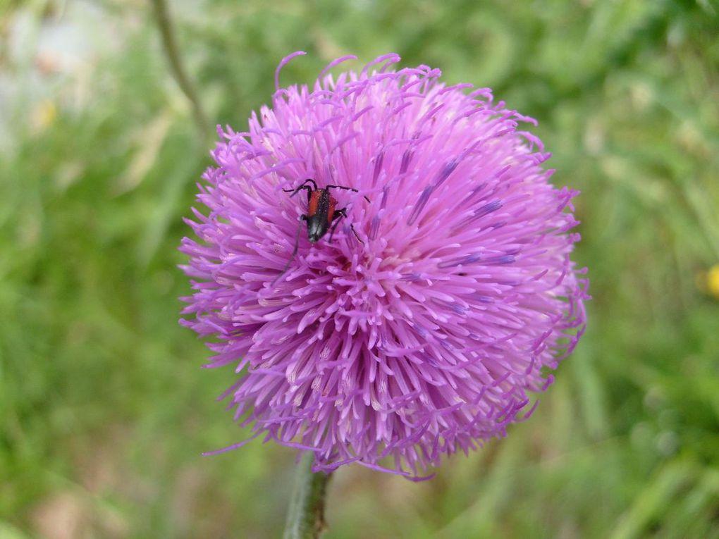 Les fleurs de l'Aran
