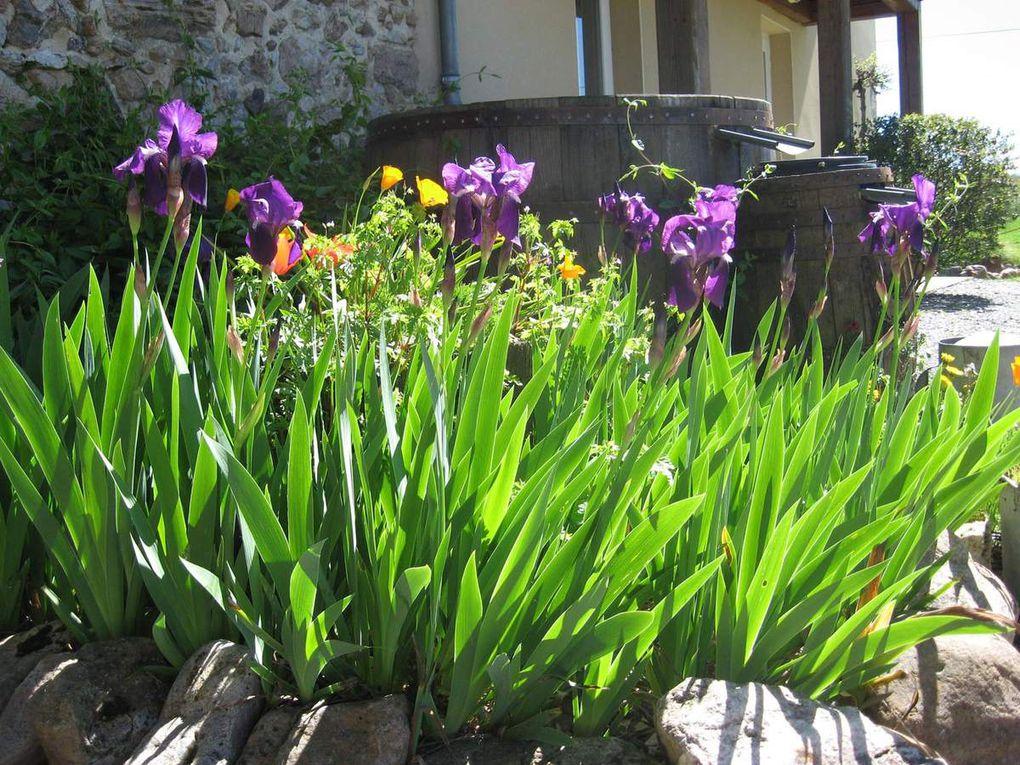 - Les bleus-violets des Iris -