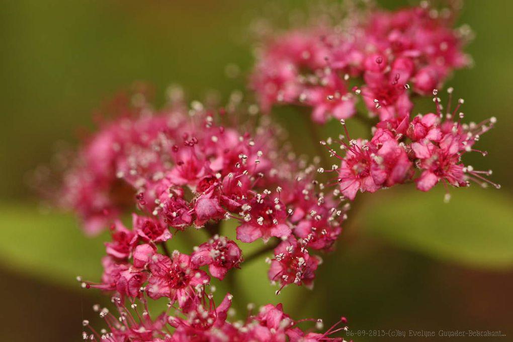 Weigélia (Weigelia), l'arbuste aux fleurs roses... et Non ! Il s'agit de Spirée !