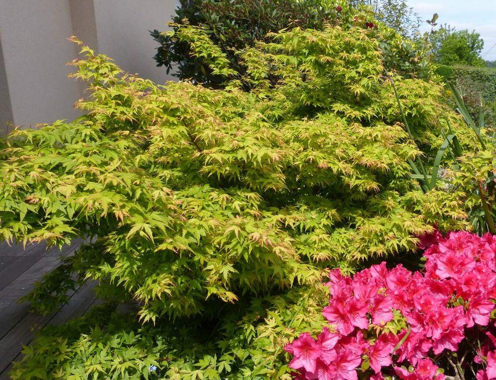 Feuillage vert à la mi-mai et nouvelles pousses rose fin juillet