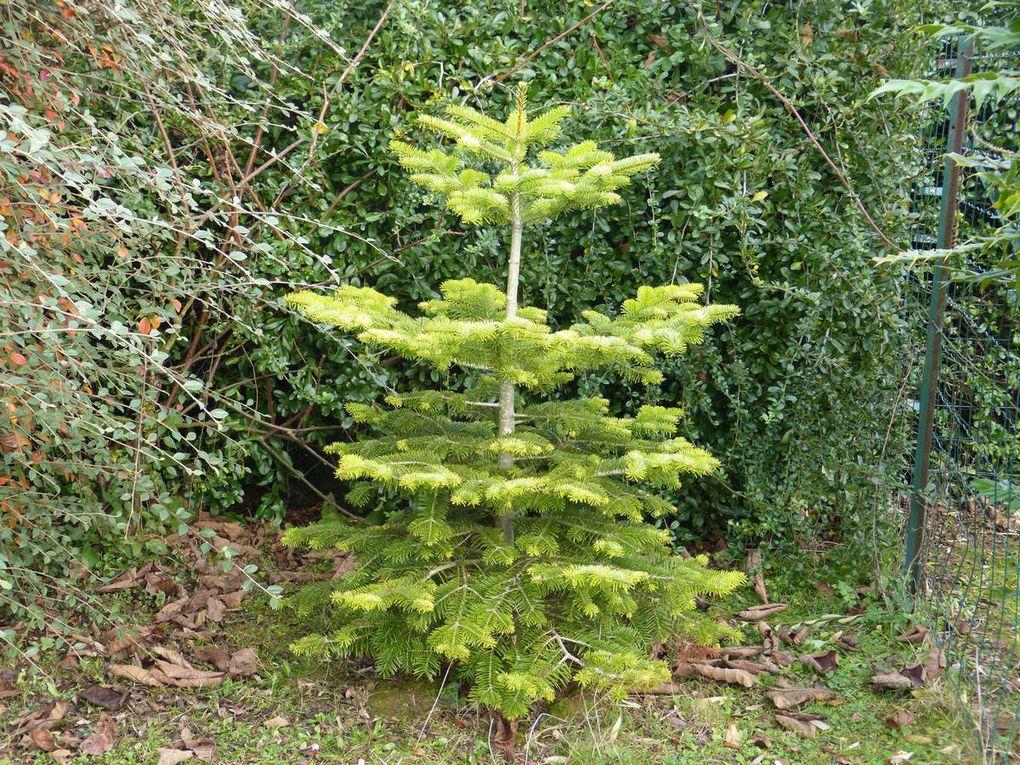 Le sapin Nordmann  ne perd pas ses aiguilles contrairement à d'autres sapins de Noël. Après les fêtes, je le replante en pleine terre dans son pot en plastique dont j'ai découpé le fond. Ce sera la dernière année que je le déplante, reste à trouver l'endroit où il pourra pousser à son aise et devenir un bel arbre sachant qu'il lui faut 10 ans pour atteindre 2 mètres