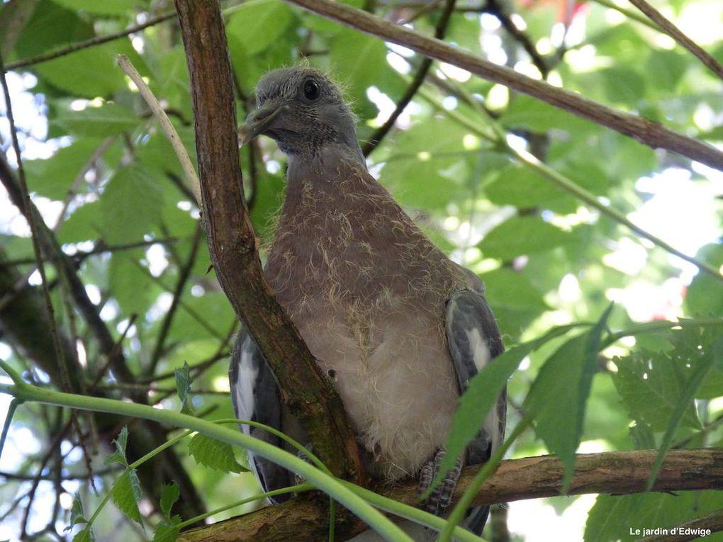 21 août, le plus téméraire ose une petite virée hors du nid.