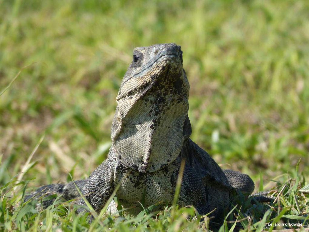 Par contre, nous avons bien repéré les nombreux  iguanes qui prennent la pose face aux photographes.