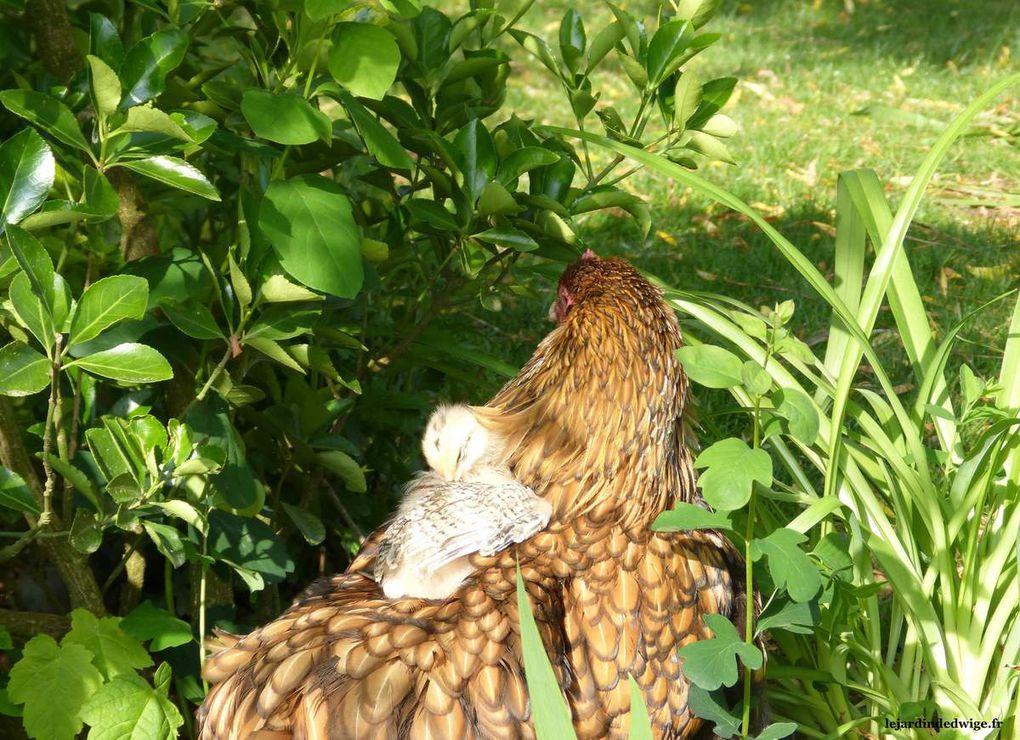 Ce poussin là trouve le dos de maman poule plutôt confortable même s'il doit faire un peu de rodéo ... photo du 08/05/2017