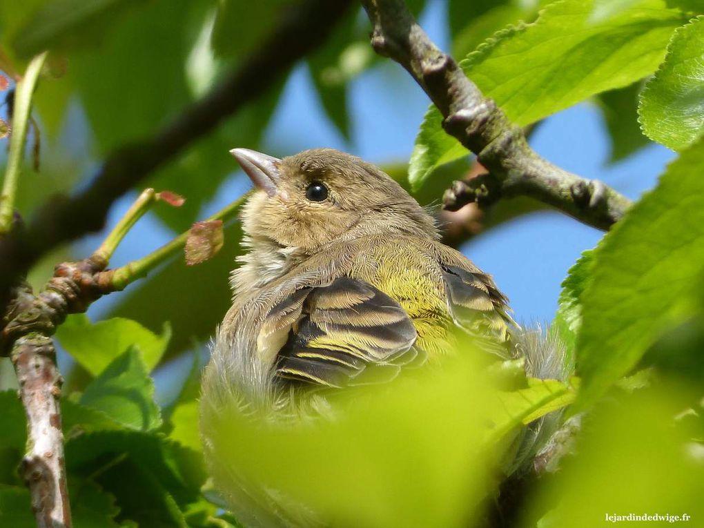 Les oisillons pépient régulièrement lorsqu'ils quémandent et c'est ainsi que je parviens à les localiser sur une branche d'arbre.