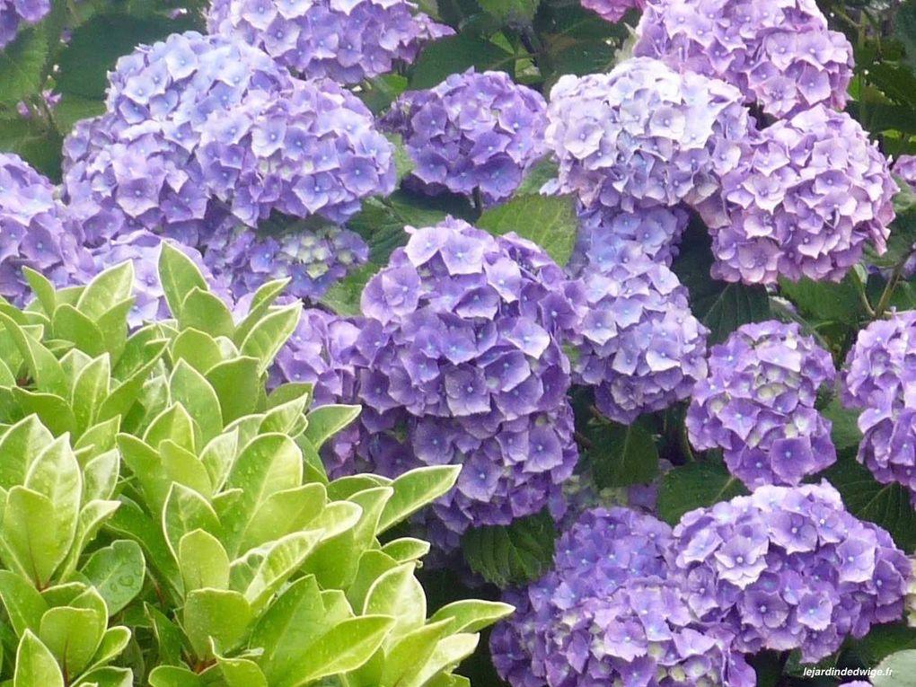 Différents tons de bleu pour cet hortensia dont les racines assimilent l'aluminium contenu dans un sol plutôt acide.
