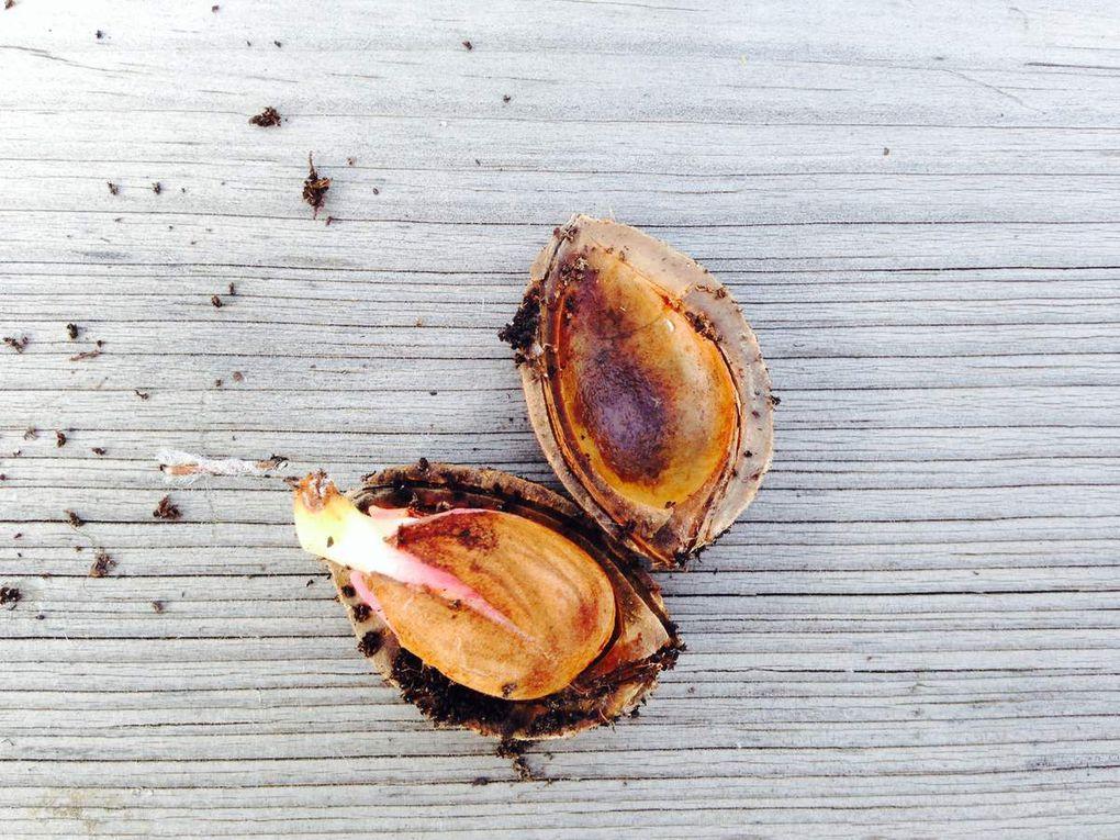 Les mêmes noyaux, 10 jours après repiquage, un noyau d'abricot a produit un abricotier de plus de 50 cm de hauteur en août de la même année