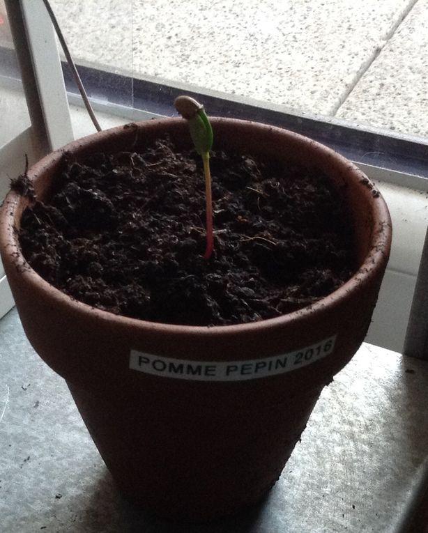 Nouveau semis de pépins de pomme du printemps 2017 (sans faire exprès)