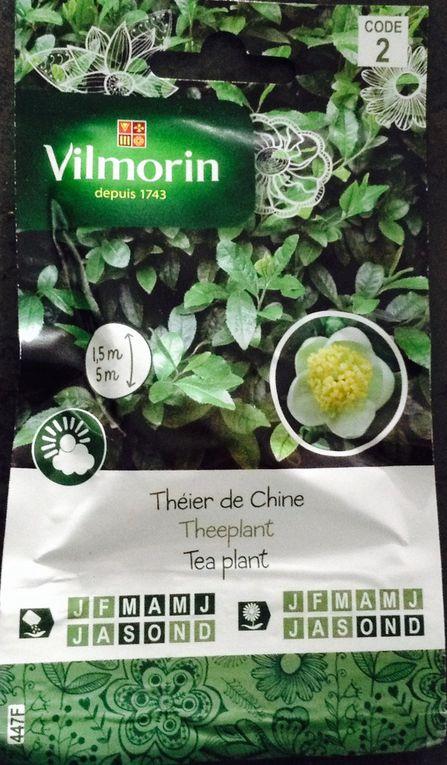 voilà la graine, puis la fleur du théier de Chine. Le 17 mai, une première tige sort de terre, le 22 mai la première feuille apparait, le 30 mai, le plant compte trois feuilles...