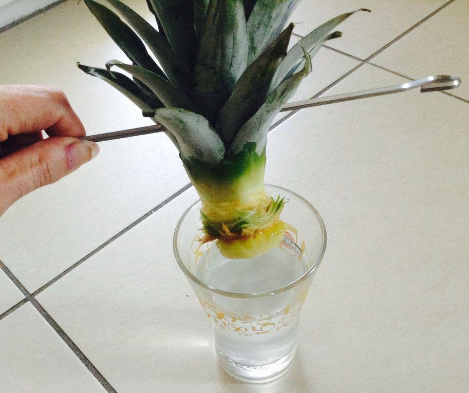 Faire pousser un ananas à partir d'un trognon, expérience a réaliser avec les enfants