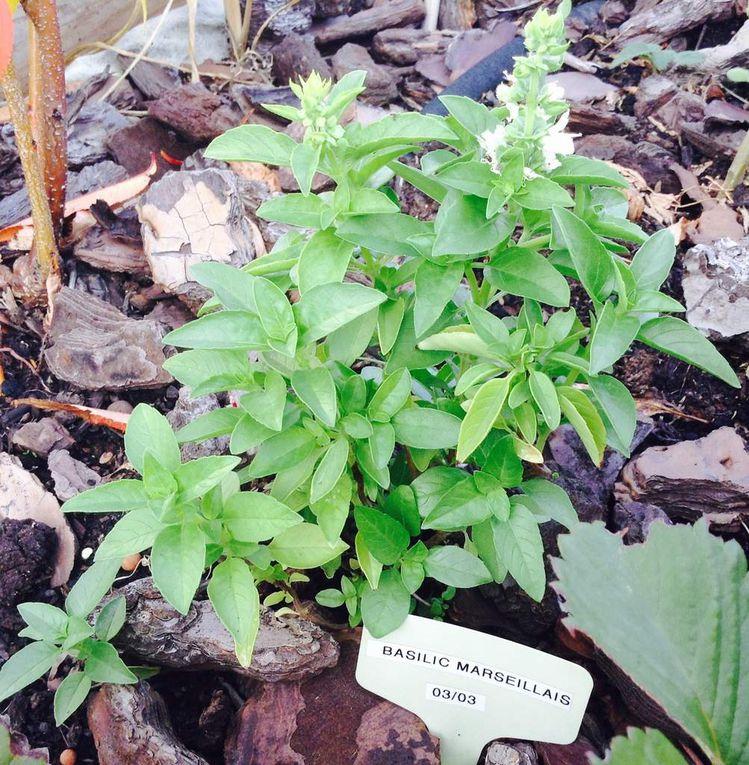 Le plant de basilic montre ses premières fleurs blanches en septembre (dernière photo). Il se prépare à passer le relais...