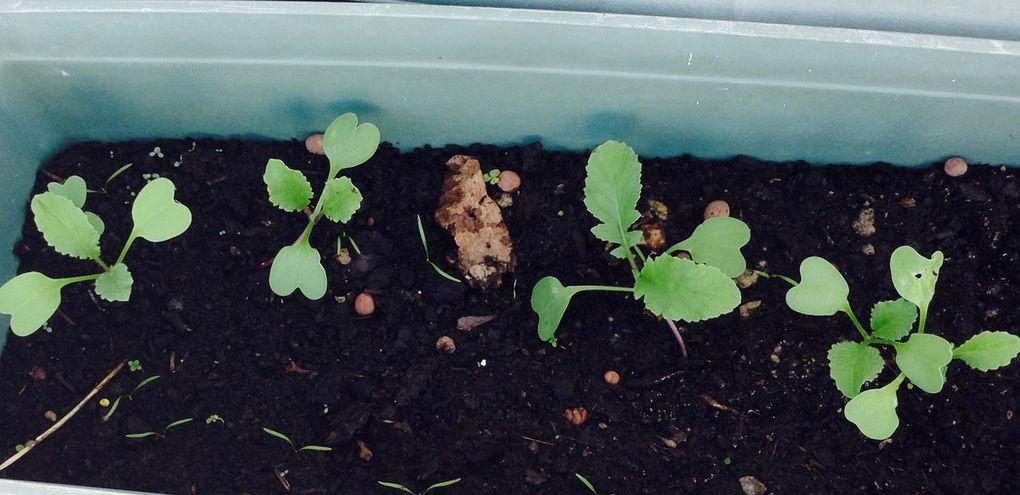 Semis de radis noir variété &quot&#x3B;gros long d'hiver&quot&#x3B;, 2ème essai 2017