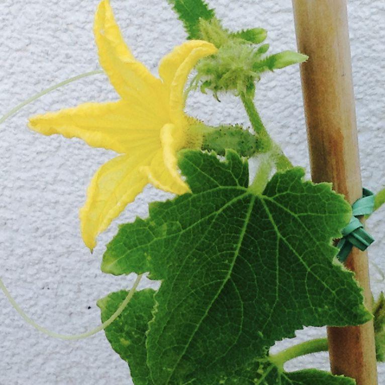 En août, les fleurs sont présentes mais pas le moindre fruit. En septembre, les premiers fruit se forment...