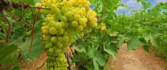 Chenin Blanc Producers Australia Page 3