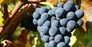Pinot Noir d Alsace France Dept du Haut Rhin page 3