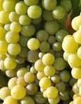 Semillon Producers Gisborne Region New Zealand