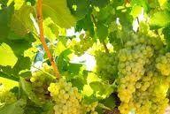 Chardonnay Producers Queensland Australia page 3