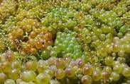 Viognier Producers Nelson Region New Zealand