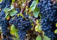 Dolcetto Producers Southern California