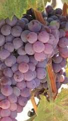 Rose Grenache Producers Southern California