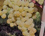 Muscat Producers Southern California