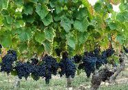 Montpulciano Producers Southern California