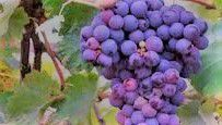 Vermentino Producers Southern California