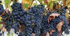 Syrah Producers Southern California