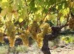 Roussanne Producers Southern California