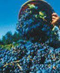 Sangiovese Producers Southern California