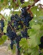 Petit Verdot Producers Southern California