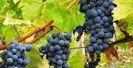 White Cabernet Sauvignon Producers  South Coast California