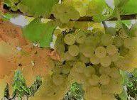 Malvasia Producers South Coast California
