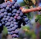 Merlot Producers South Coast California