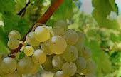 Fume Blanc Producers South Coast California