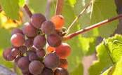 Pinot Gris Producers South Coast California