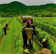 Rose Sparkling Wine Producers Thailand