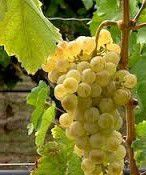 Muscat Producers Thailand