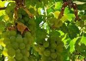Viognier Producers South Coast California p3