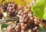 Pinot Grigio Producers Central Coast California