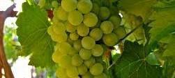 Chenin Blanc Producers Central Coast California