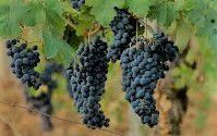 Barbera Producers Central Coast California