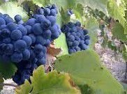 Carignan Producers Central Coast California